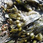 Экстракт бурой водоросли