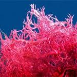 Коралловые водоросли